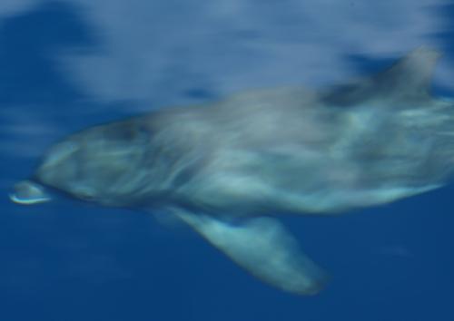 Chuuk Lagoon, note chewed dorsal fin